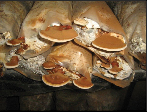 The fruiting bodies for Ganoderma mushrooms