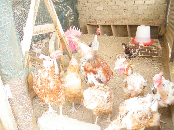 Imported from South Africa is the Boshveld chicken breed, another project run by the Young Achievers. (Photograph by Yvonne Amukwaya)