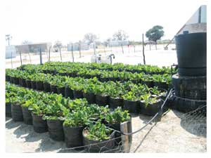 A micro drip irrigation system in Ondangwa (Photograph by Hilma Hashange).