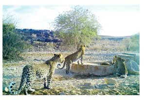 A female leopard and two sub-adult cubs caught on a camera trap mounted at a waterhole in the Gondwana Canyon Park, a private game park on the escarpment above the world famous Fish River Canón.
