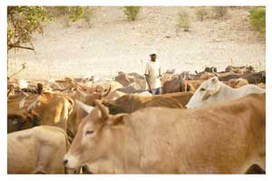 Combined herding of cattle has multiple advantages and herders play a key role in the well being of both livestock and grass (Photograph by Christine Skowski).