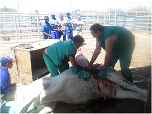 The bull calf being delivered by caesarean section. The unborn calf created a major stir when two veterinary surgeon performed an impromptu caesarian section in full view of passers-by. The calf was relieved successfully. (Photograph by Hilmah Hashange)