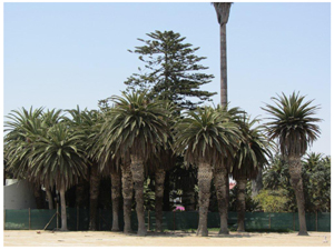 This century old palm trees had to go to make room for the new Strand Hotel at the Mole.