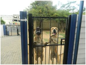 Two Boerboel dogs that where confiscated from smugglers trying to get the animals into Angola are  kept safely at the SPCA until the court case comes to a conclusion.(Photograph by Mandisa Rasmeni)