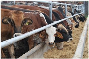 Farmers in the Northern Communal Areas stand to benefit from the Meatco Foundation's support to a strategic plan to increase red meat production from the regions excluded by the Veterinary Cordon Fence. Satellite feedlots will form a key component of this long-term strategy.