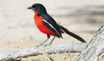 The Crimson Breasted Shrike is one of nature's own water pointers, a feature exploited by the San to find water under the harshest conditions.