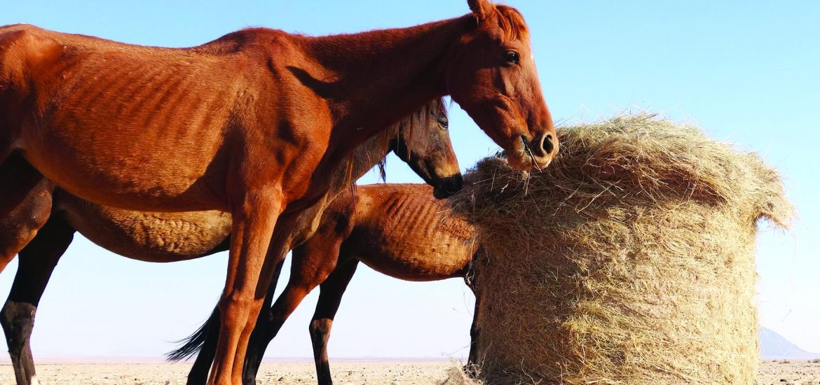 Only about 160 wild horses remain in the Namib. Their numbers are dwindling due to the drought and predation. The whole population has to be supplied with supplementary fodder.