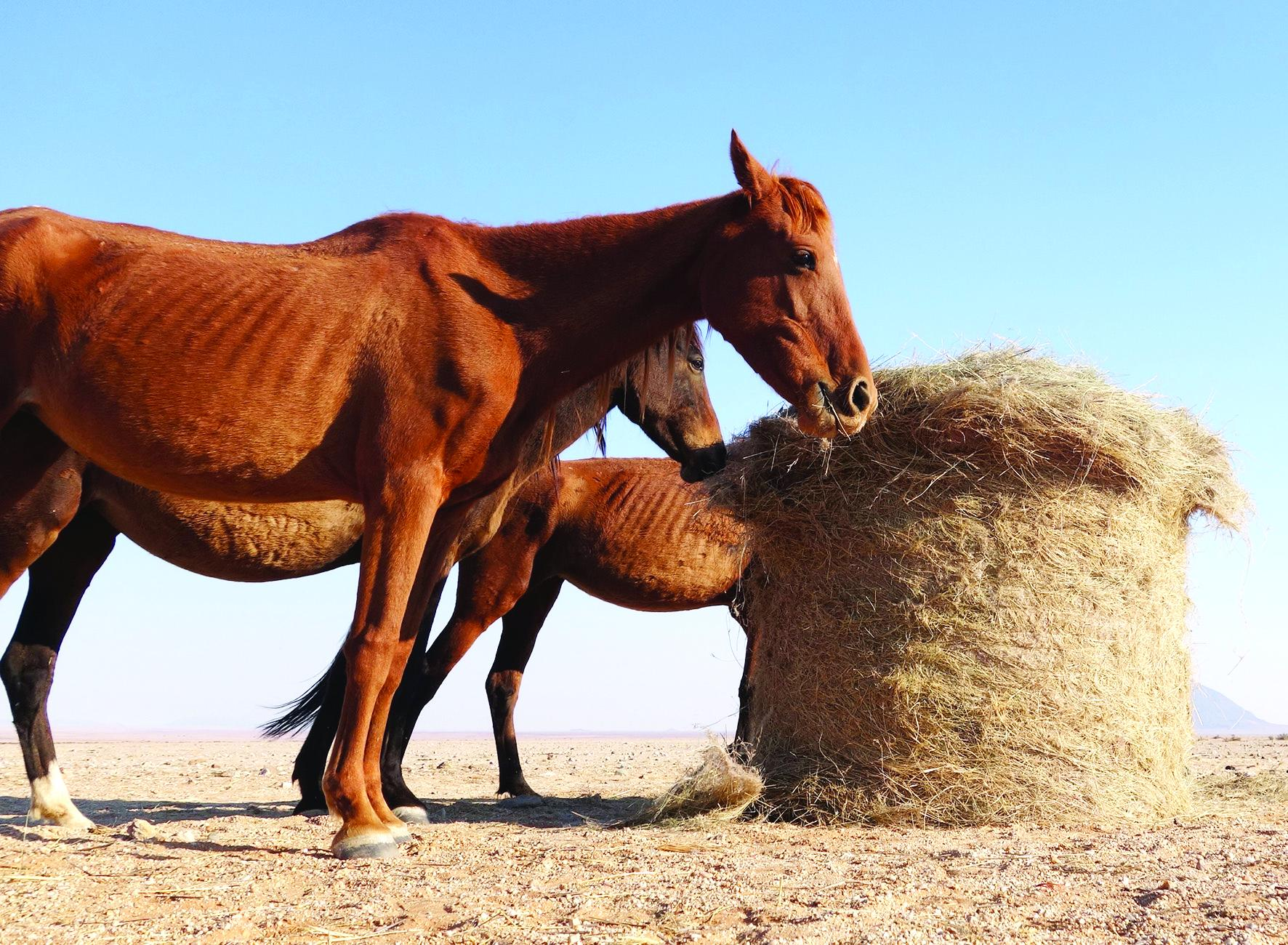 Namib horses face extinction