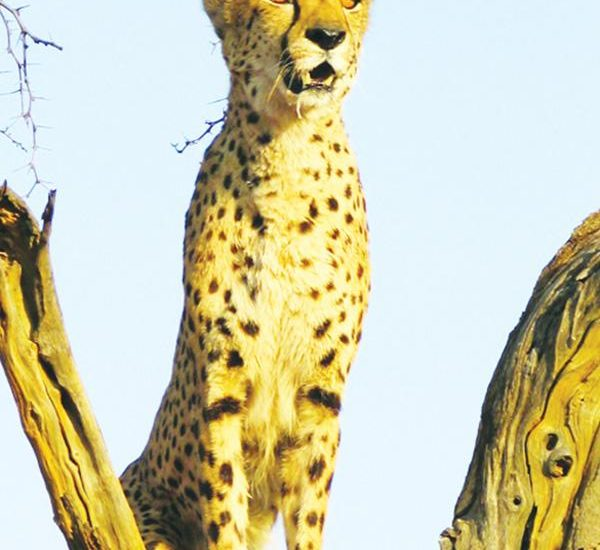 Chewbaka is the world-famous cheetah of the Cheetah Conservation Fund near Otjiwarongo. He played a significant role in providing genetic samples for a study to determine the scope of genetic loss in wild cheetah populations. Photograph by the Cheetah Conservation Fund.