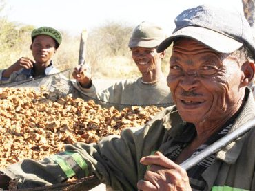 Income from Devil's Claw sustains Bushman communities during drought
