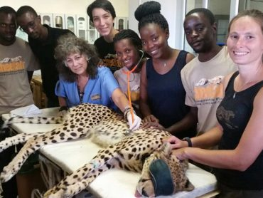 Cheetah protectors want status upgraded from vulnerable to endangered