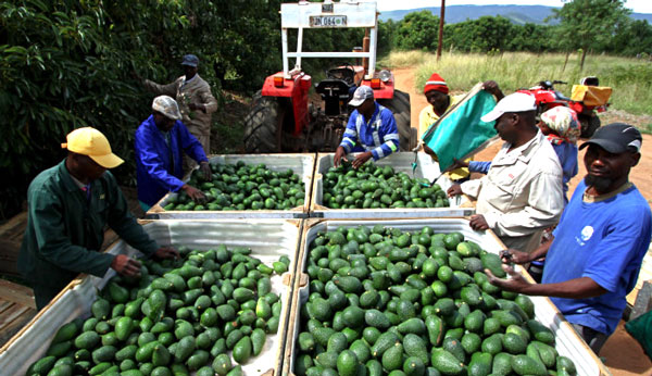 New avocado cultivar ripe for market