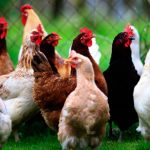 Poultry industry dealt with yet another blow