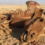 Namib Wild Horses' future looks gloomy – only 84 left and they are struggling