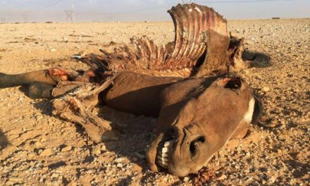 Desert horses on their way out as hyenas kill all new offspring