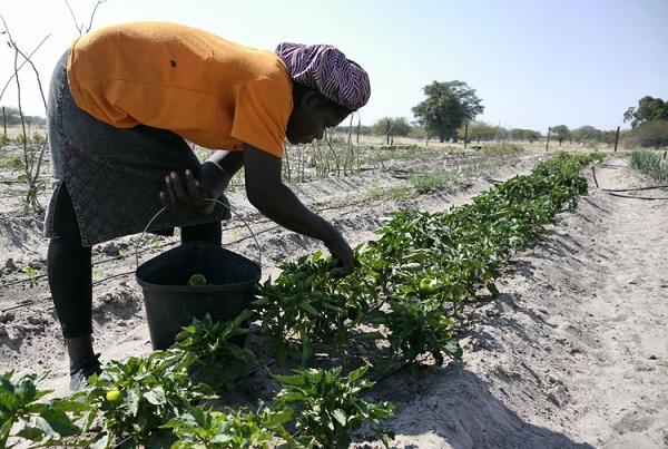 First crop assessment indicates bumper harvest