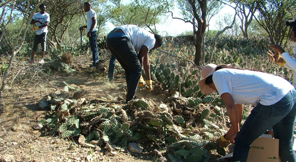Audit firm takes on alien invasive cactus