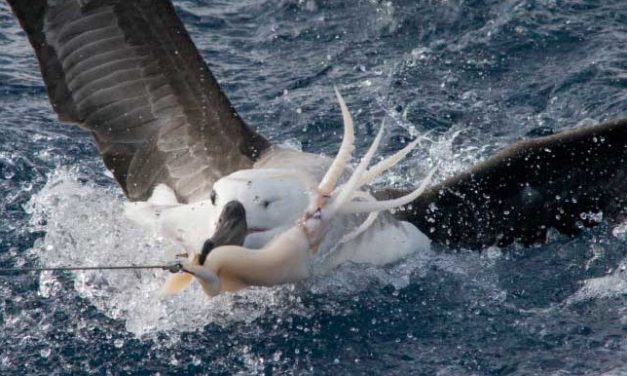 Bird-scaring lines help prevent avian bycatch
