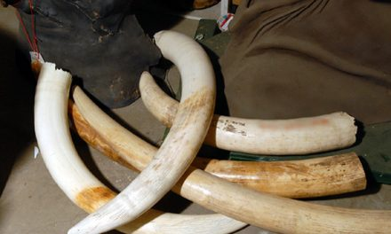 Namibia not to consider legalizing ivory, rhino horn trade