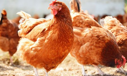SA Bird flu outbreak to affect local traders