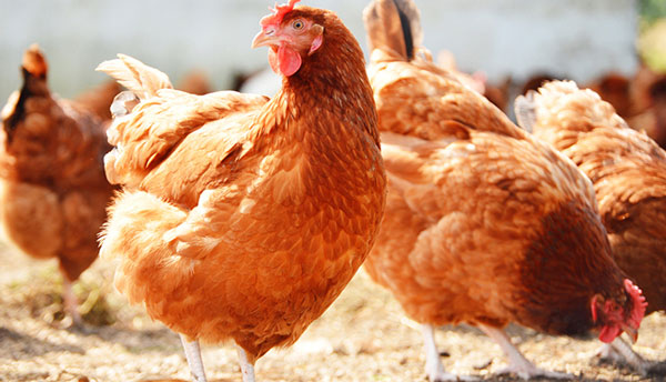 Ban on poultry imports from Belgium lifted