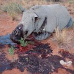 Rhino poaching cases decline in comparison to last year