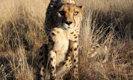 Lucky the Cheetah championing as N/a'an ku sê Wildlife Sanctuary surrogate mother