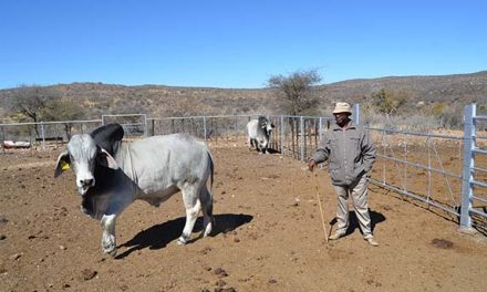 Communal producer gets bull worth N$40,000