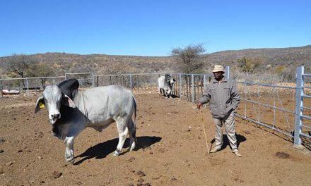 Communal producer gets bull worth N$40,000
