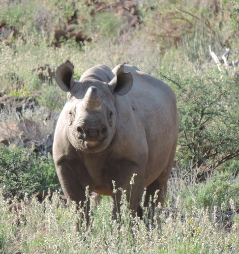 Rhino Trust challenges Namibian companies to adopt wild rhinos