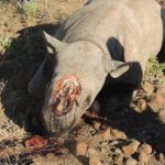 Rhino population still under threat- 8 rhino poaching cases recorded since January