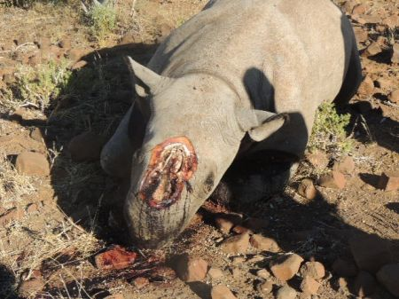 Locals bagged in rhino poaching sting op