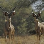 Park Talk looks at thorny topic of trophy hunting in communal conservancies