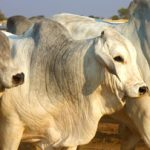 Brahman national auction and symposium slated for next week