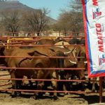 Meatco procures 324 cattle at Okakarara permit day