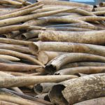 UK Government to tighten screws on ivory trade