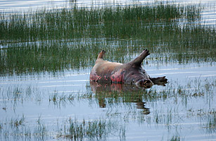 Anthrax wipes out 110 hippos and 20 buffalo in Bwabwata National Park