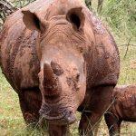 Rhino population increases at Ghaub