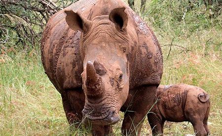 Rhino population increases at Ghaub