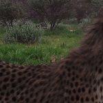 Go Green fund instrumental in Cheetah conservation
