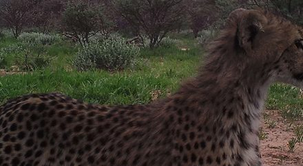 Go Green fund instrumental in Cheetah conservation