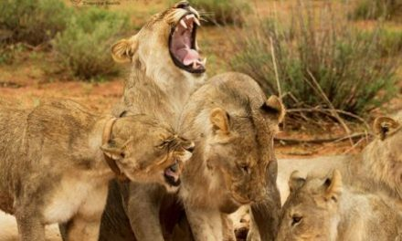 Problematic lions to be relocated to avoid further human-wildlife conflict