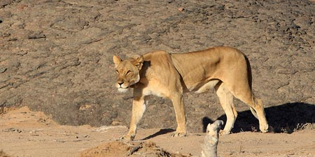Lions pounce again – kill 172 sheep at Brandberg area