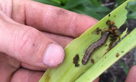Smallscale farmers battle against the armyworm to be boosted by FAO guide