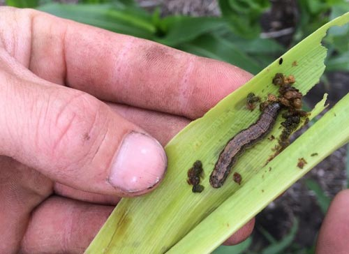 Scientists warn of probable armyworm outbreak during rain season
