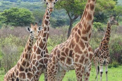 Twiga Tracker – Using modern technology to save giraffes and their habitat