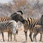 Zebra Hybridization project gets boost from Nedbank Fund