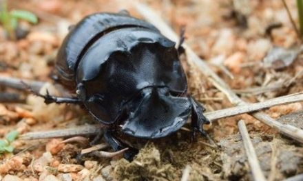 Local study determines the role of dung beetles as sensitive ecological markers