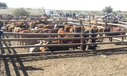 First Gam permit day garners 270 cattle and weaners for Okapuka Feedlot