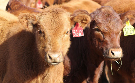 Increased SA weaner production likely to put more downward pressure on meat prices at auctions